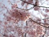 Sakura 2011  -1-