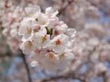 Sakura 2011 -2-